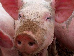 Porcine respiratory disease complex