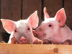 Porcine reproductive & respiratory syndrome